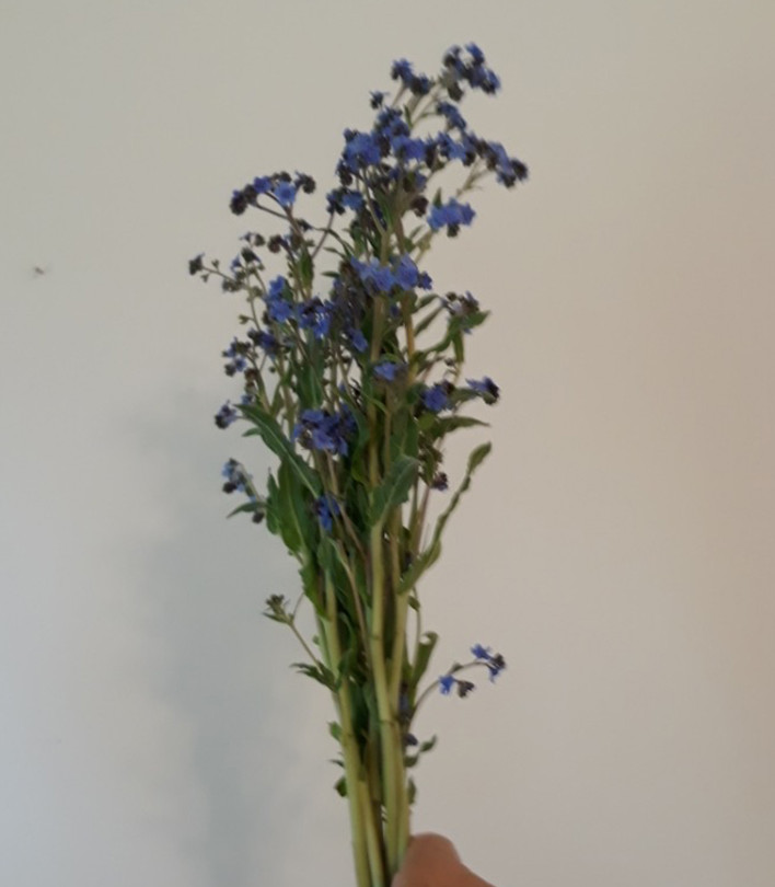 Cynoglossum 'Chinese Forget-Me-Not'