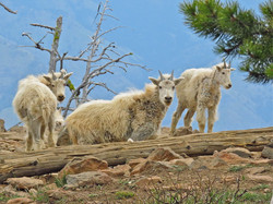 Mountain Goats in Hells Canyon
