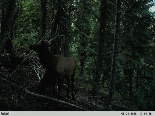 bull elk2 cam3.jpg