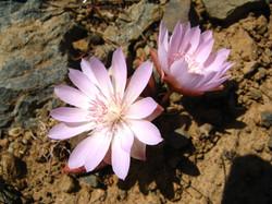 Bitterroot Flower