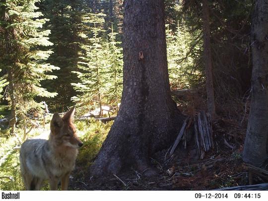 2014 coyote.JPG