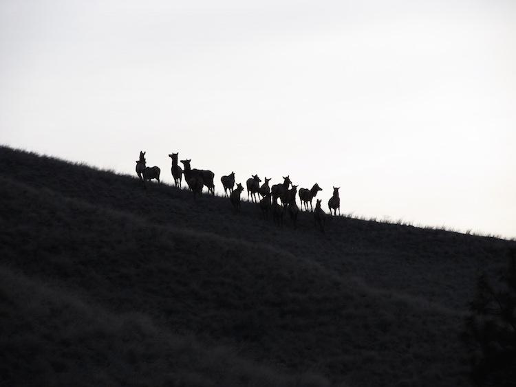 Elk on the Nee-Me-Poo Trail
