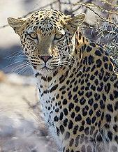 220px-African_Leopard_Near_Okevi_Waterho