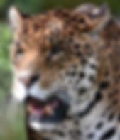 jaguar-zoo.jpg