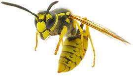 wasp_flying.jpg