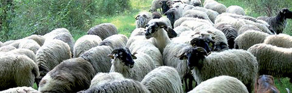 mouton-crop-u655.jpg