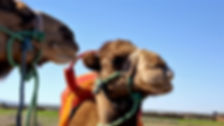 Kamel-Trekk bei Hotel Maison d'hôte, Tnine Ourika, Marrakesch