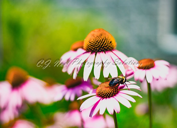 Flowering Fran