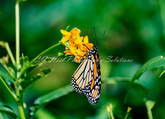 Bernice the Butterfly