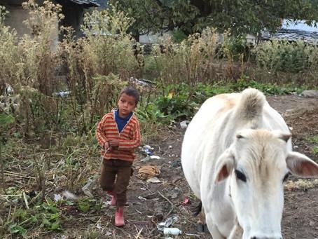 Posvátné krávy