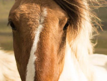 Les chevaux sont-ils concernés par les allergies?