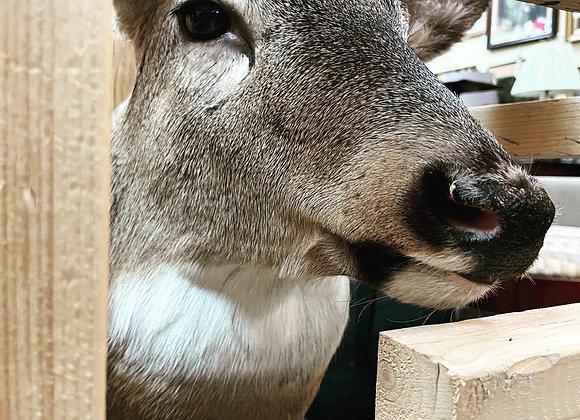 Deer Head / wall mount