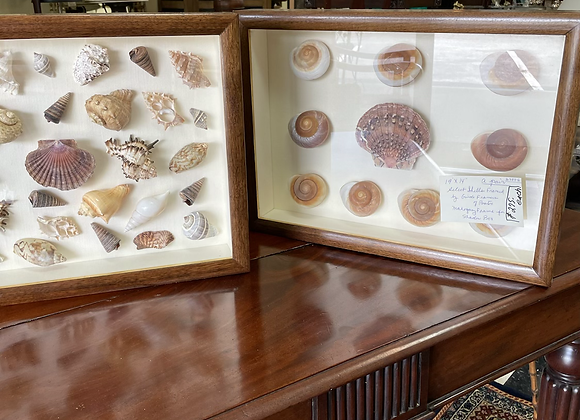 Pair of sea shell shadow boxes