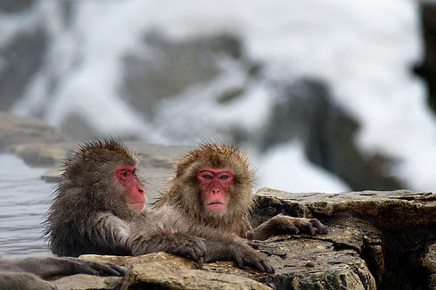 Jigokudani Monkey Park.jpg