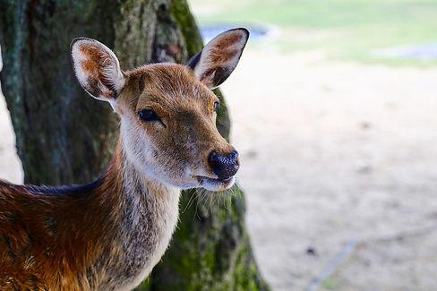 Nara Park.jpg