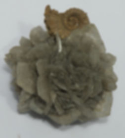 Роза кайнозойского гипса с юрским аммонитом из глин вблизи местечка Разюбищина