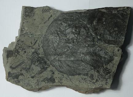 Отпечаток листа лиственного дерева