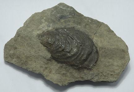 Inoceramus uwajimensis Yeh.