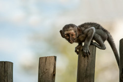 monkey on a fence copy