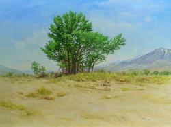 Cottonwood, Owens Valley.