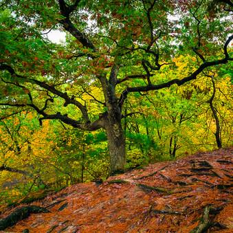 Red Oak on the Rock