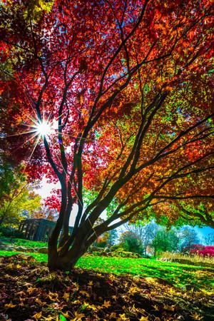 Autumn Japanese Maple.jpg
