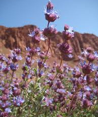 """Sage-""""Herb of the Year"""""""