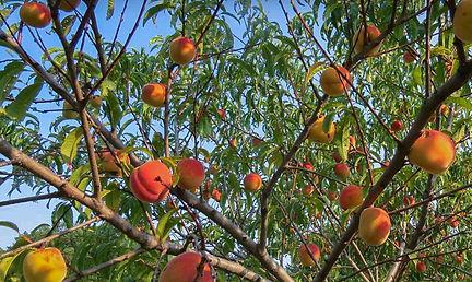 Fruit-Orchards-Main-Image-v2.jpg