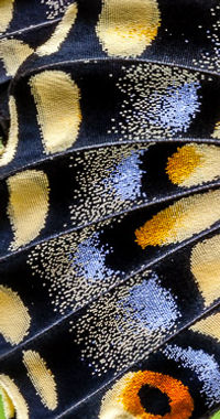AniseSwallowtail_ventral.jpg