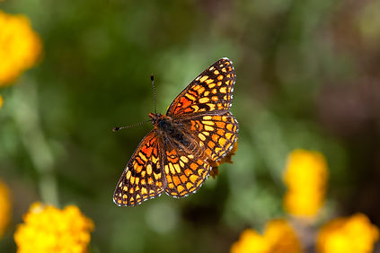 Gabb's Checkerspot butterfly