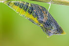 Anise Swallowtail chrysalis, David Horner Photography