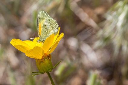 Dainty Sulphur Butterfly