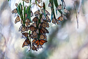 Wintering Monarchs - Goleta, CA, David Horner Photography