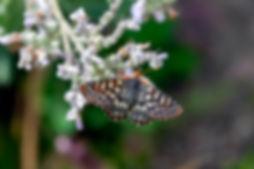 Chalcedon Checkerspot butterfly