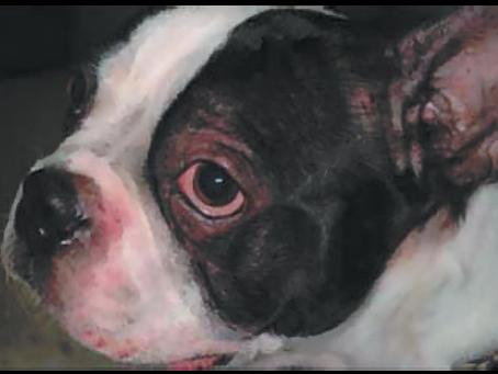 Клинично хранене, основано на изследвания: коригиране на дерматит при кучета