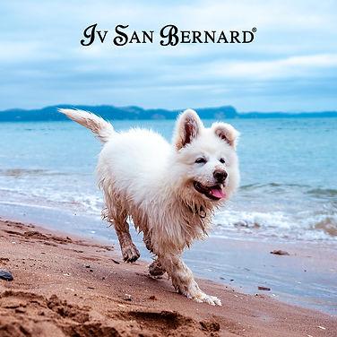 Iv-San-Bernard.jpg