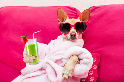 chihuahua dog relaxing  and lying, in