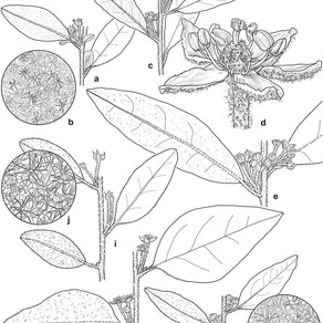 Two new species of Asterolasia (Rutaceae) in eastern Australia