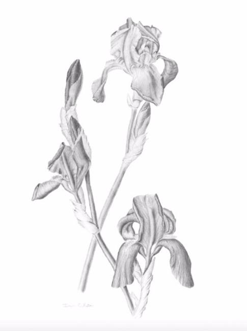 Irises in Bloom - Giclee Print