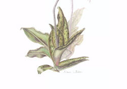Paphiopedilum Orchid - Close-up