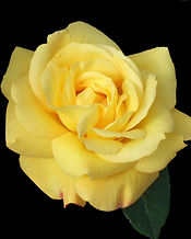 yellow-rose-1371137.jpg