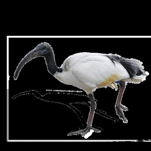 IBIS_Bird-2.png