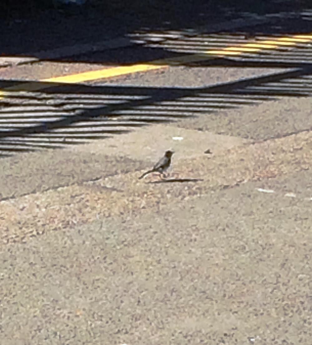 Bit of a distance away but it looks like a Wagtail.