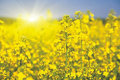 Canola field HR.jpg