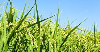 Centor India website rice paddy photo sh