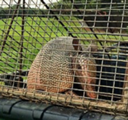 Armadillo Removal.png