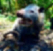 Opossum Removal.jpg