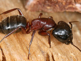Carpenter Ants remodel homes in Lewisville, Highland Village and Flower Mound Texas.
