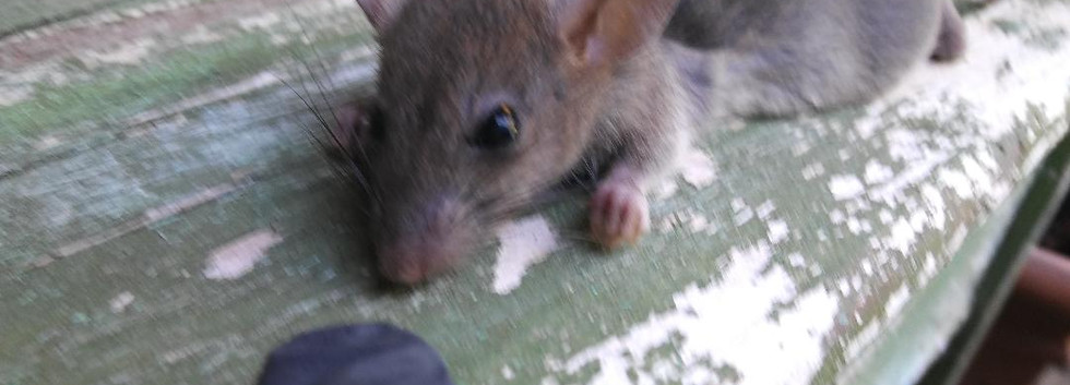 Rodent Control in Lewisville Texas