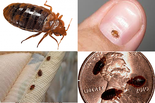 bedbug Flower Mound Texas.png